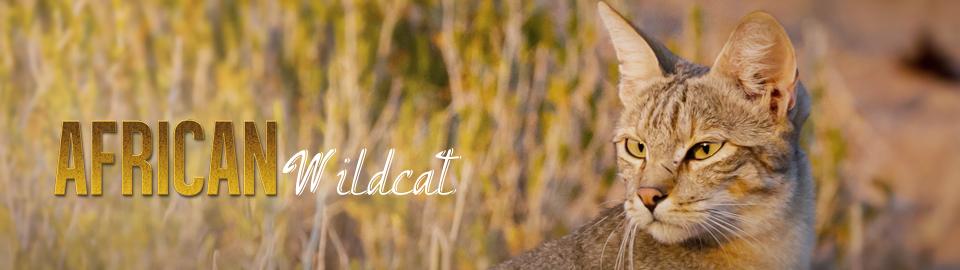 Mèo Châu Phi (Tổng hợp HT)