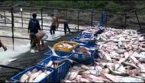 Chỉ có duy nhất ở Gia Lai Dễ như bắt cá ở hồ Ayun Hạ -