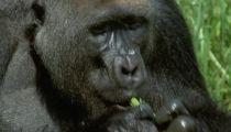 Tập 10 - Gorilla -
