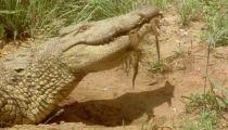 Tập 1 - Crocodile -