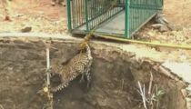 Dramatic footage: Wild leopard rescued from a well in India -