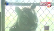 Harrowing video shows painfully thin tiger at controversial Chinese zoo - Mirror Online_2 -