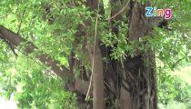 Hàng cây cổ thụ trên đường Kim Mã, Hà Nội trước ngày đốn hạ -