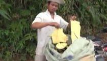 Clip: Đổ xô phá rừng bóc vỏ cây bán cho Trung Quốc -