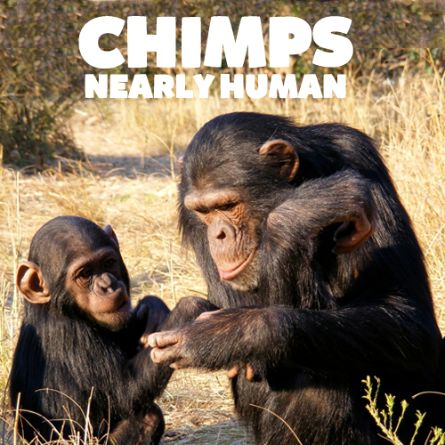 Chimps Nearly Human